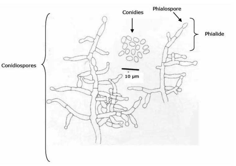 Figure 12 : Aspect morphologique d'un conidiophore de Trichoderma harzianum (Samuels et al.,1994).