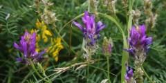 Description botanique du genre Astragalus L
