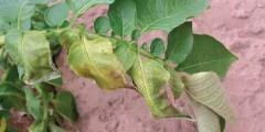 Flétrissure verticillienne de la pomme de terre