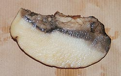 Figure 2 Jambe noire et pourriture molle detubercule