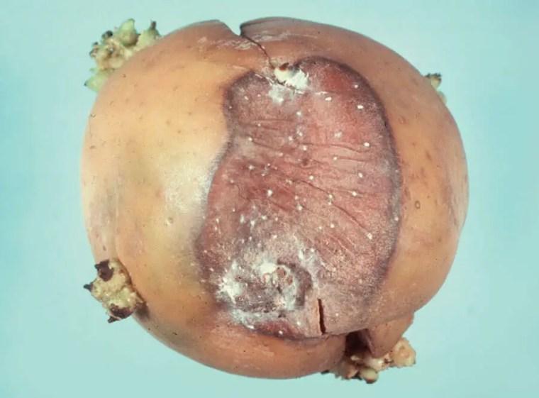 Figure 2 Moisissure grise: pourriture dutubercule