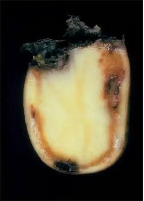 Figure 4 Flétrissure bactérienne: symptômesavancés
