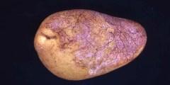Rhizoctone violet de la pomme de terre