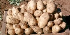 Gale commune de la pomme de terre