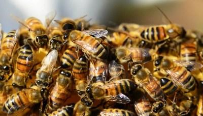 L'essaimage naturel des abeilles