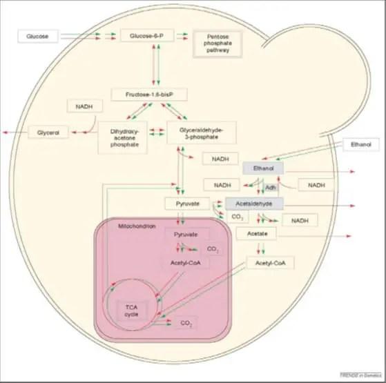 Figure 3 Voies métaboliques chez les levures (Oura, 1997).