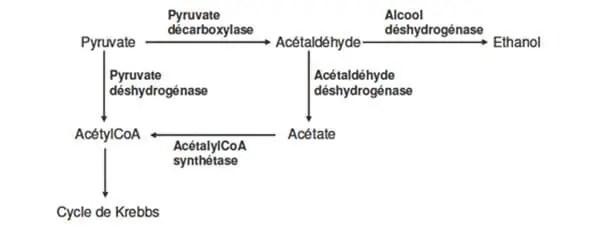 Figure 4: Nœud métabolique du pyruvate et de l'acétaldéhyde