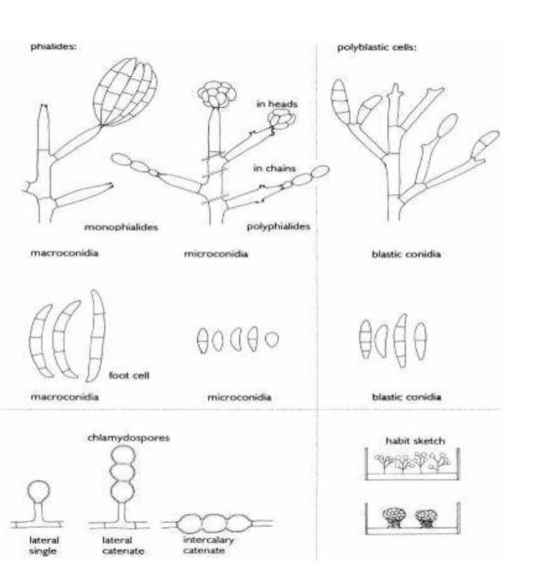 Figure 1 Terminologie pour décrire la morphologie du genre Fusarium (de Hoog et al.,2011)