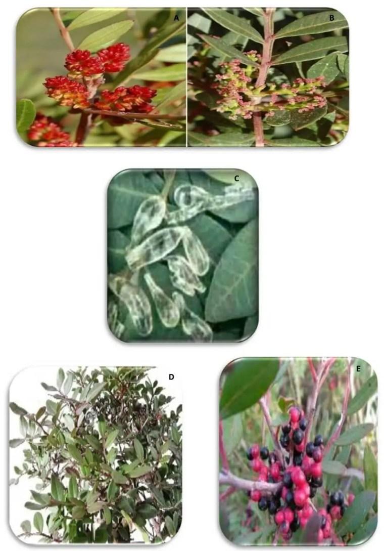 Figure N°2: Photographies des A) fleurs mâles; B) fleurs femelles; C) résine; D) feuilles ; E) fruits dePistacia lentiscus