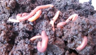 Le rôle écologique des vers de terre