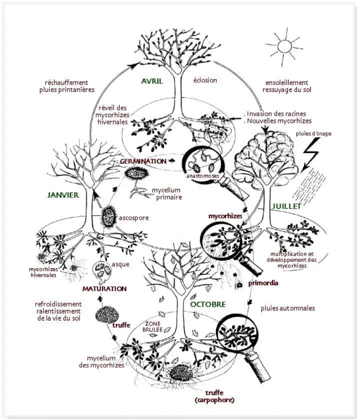 Fig.1 : Cycle biologique de la truffe et de son hôte (In Delmas, 1983).