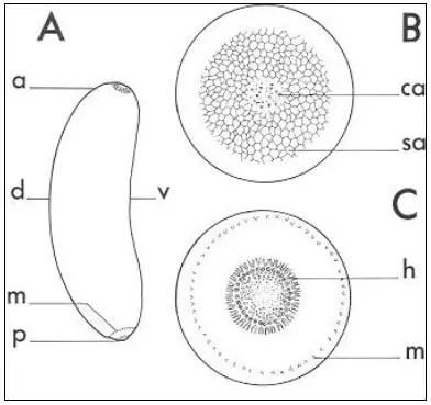 Figure 05 : Morphologie d'un oeuf de Dociostaurus maroccanus (d'après G. JANNONE, 1939) A : vue latérale, B : pôle antérieur, C : pôle postérieur ou pôle animal. a : pôle antérieur, ca : ouverture des pseudo-canaux aérifères, h : zone hydropylaire, m : zone micropylaire, p : pôle postérieur, sa : surface du pôle antérieur, v : face ventrale (concave), d : face dorsale (convexe)