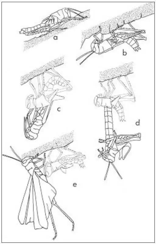 Figure 09 : Etapes de la mue imaginale a. larve de dernier stade prête à muer, b. mise en position de mue, c. extraction du futur imago, d. extension maximale du corps avant retournement, e. exuvie restant accrochée au support