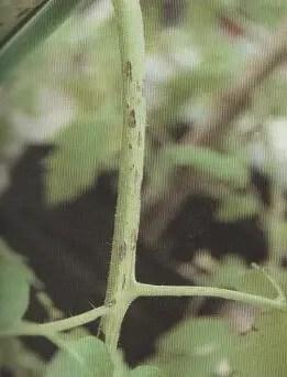 Fig. N° 02 : petite tache brune allongé sur tige