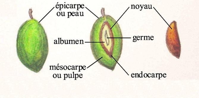 Figure 03 : fruit d'olivier (Rossini, 1999).
