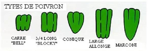 Figure n°1 : les différents types du poivron. (Saint Louis et al,. 2001)