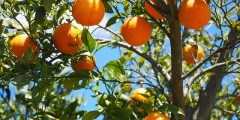 Érosion génétique des espèces agrumicoles dans la wilaya de Skikda : Contraintes de production