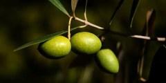 Caractères taxonomiques et morphologiques de l'olivier