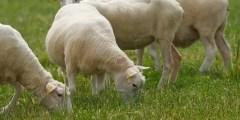 Conformation générale du mouton