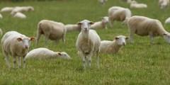 Conformation du mouton selon le format (hétérométrie)