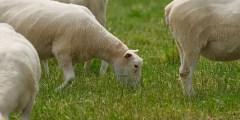 Conformation du mouton selon le profil