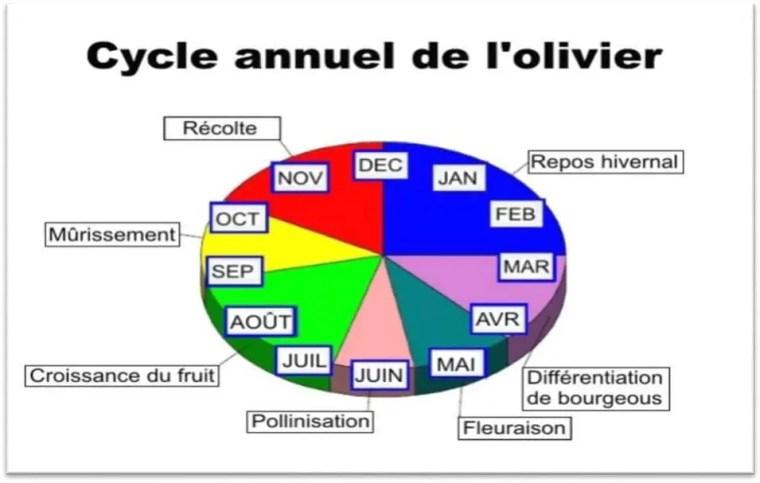 Figure 40:cycle annuel de l'olivier