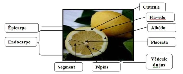 Figure 8 : Caractéristiques morphologiques d'un Citrus (Swingle and Reece, 1967)