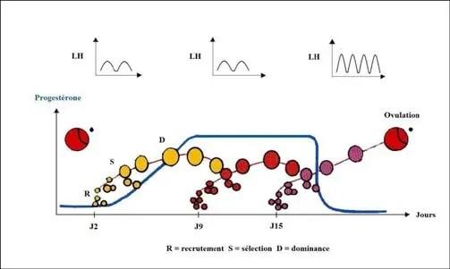 Figure 03: Croissances folliculaires au cours d'un cycle oestral chez la vache(ENNUYER, 2000).