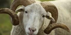 Position systématique du mouton