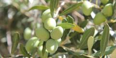 Les exigences de l'olivier