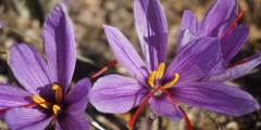 Description de la plante du safran