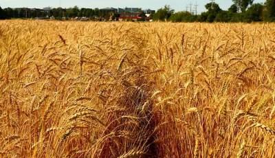 Conséquences agronomiques d'une carence azotée sur le blé