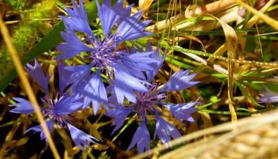 Seuils de nuisibilité des mauvaises herbes