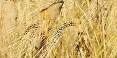 Aperçu sur le cycle biologique du blé