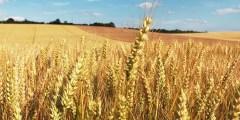 Le semis du blé