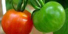 زراعة الطماطم تأثير كمية الري على مردودية الطماطم