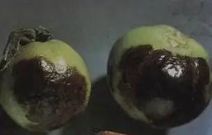تمثل تلون ثمارالطماطم ببقع سوداء