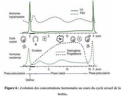 Figure 6 : évolution des concentrations hormonales au cours du cycle sexuel de la brebis.