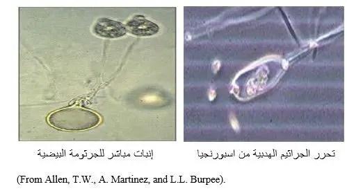 شكل الفطر Pythium spp تحت المجهر.