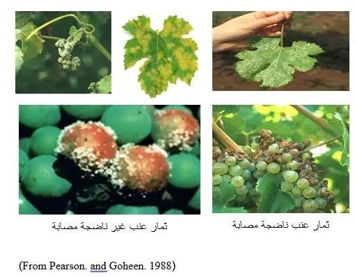 شكل رقم (2): أعراض الإصابة بالبياض الزغبي في العنب (Plasmopara viticola)