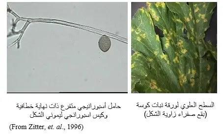 شكل رقم (1) الأعراض على ورقة نبات الكوسة وشكل الفطر تحت المجهر.