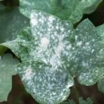 الأمراض المتسببة عن فطريات البياض الزغبي Diseases caused by Downy Mildew Fungi