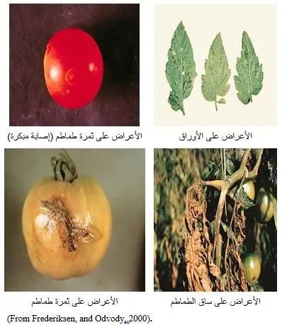 شكل رقم (1) أعراض الإصابة على الطماطم