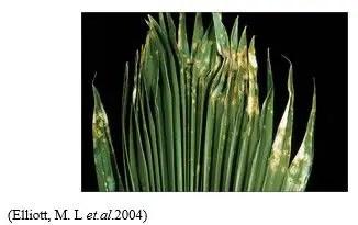 شكل رقم (1): أعراض التبقع السركسبوري على نخيل