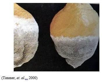 شكل رقم (1): الأعراض على ثمار الليمون