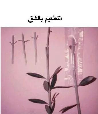 4- التطعيم بالشق: