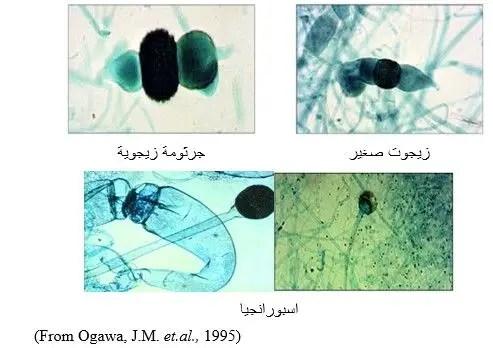 شكل رقم (1)  الفطر ريزوبس: إنبات اسبورنجيا من  الجرثومة الزيجوية.
