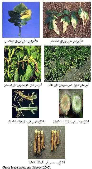 شكل (1) أعراض الإصابة بالفطر قيرتيسيليوم على نباتات الطاطم والبطاطس والفلفل والبطاطا الحلوة