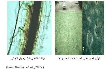 شكل رقم (3) الأعراض على المسطحات الخضراء.