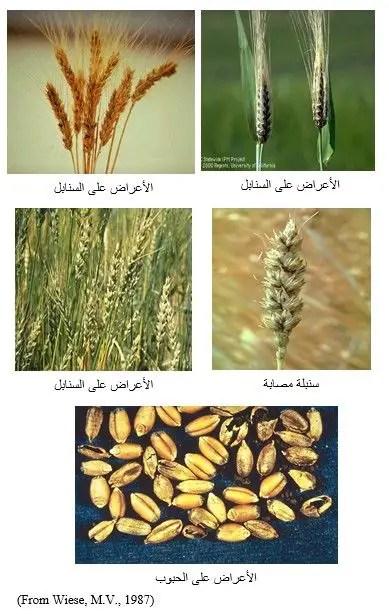 شكل رقم (2): أعراض مرض التفحم المغطى في القمح على السنابل والحبوب